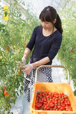 トマトを収穫する三浦綾佳さん